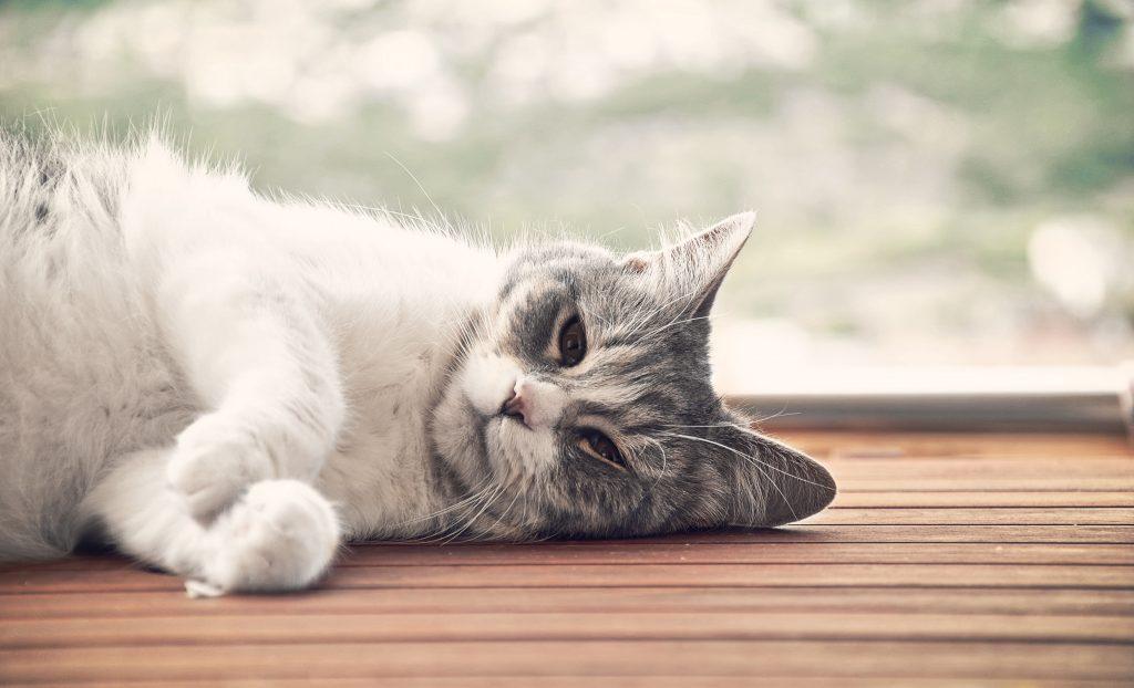 מנוי לחתול