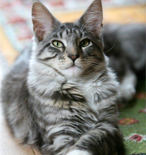 גידול גורי חתולים