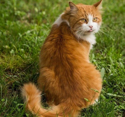 החתול משלשל