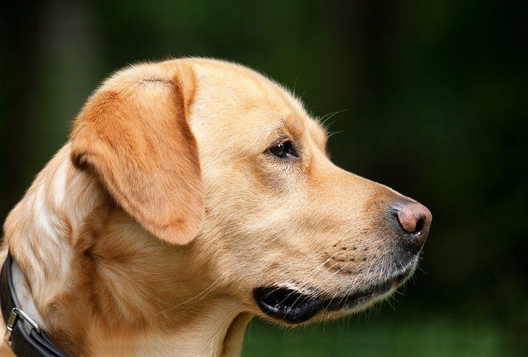 פריצת דיסק אצל כלבים