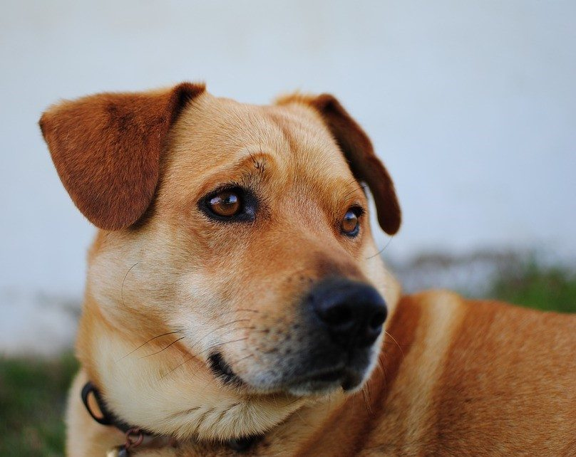dog-leishmania