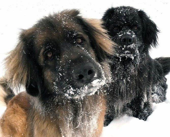 dogs-in-winter