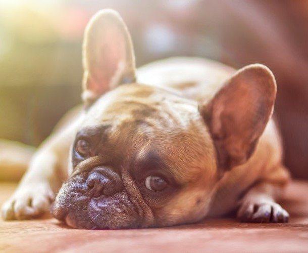 דלקות אוזניים בכלבים וחתולים