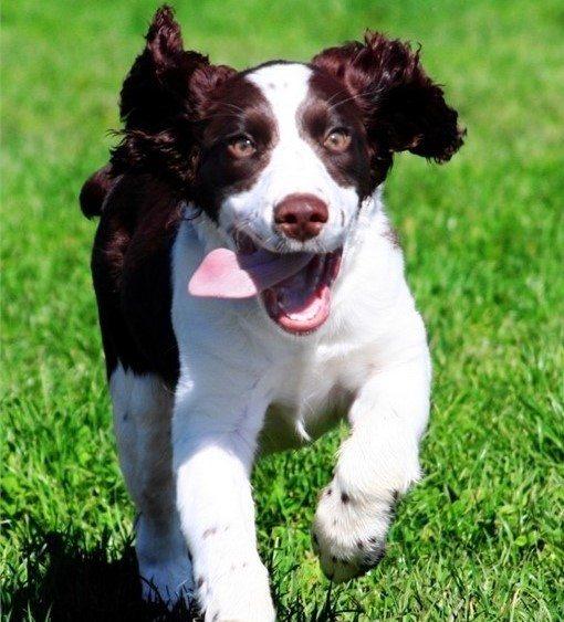 field-dog-fotolia-main