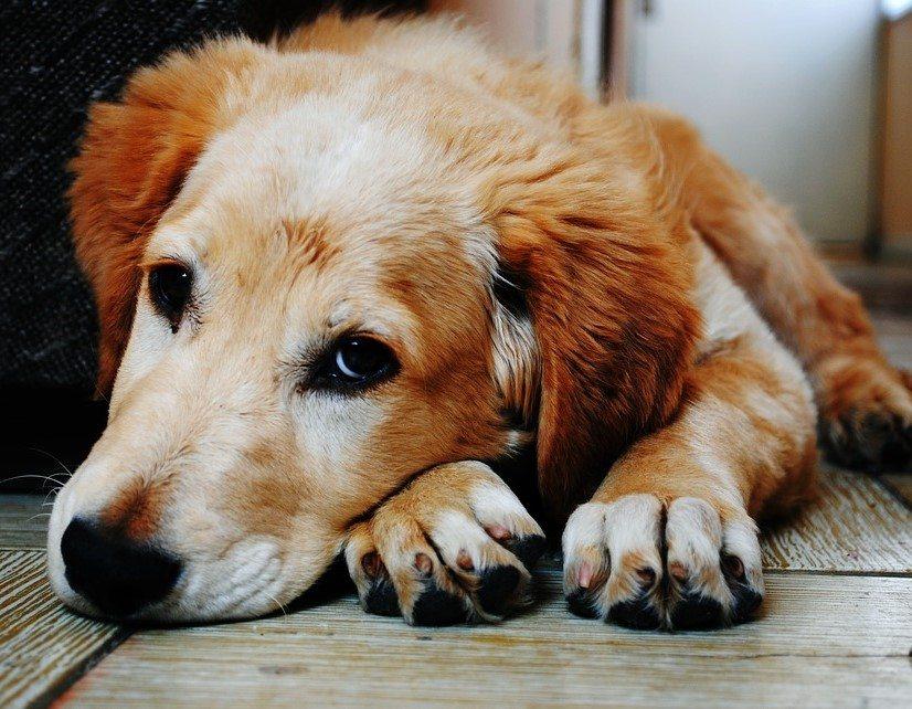 שפעת אצל כלבים