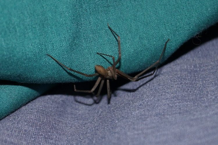 עקיצת עכביש שישן חום