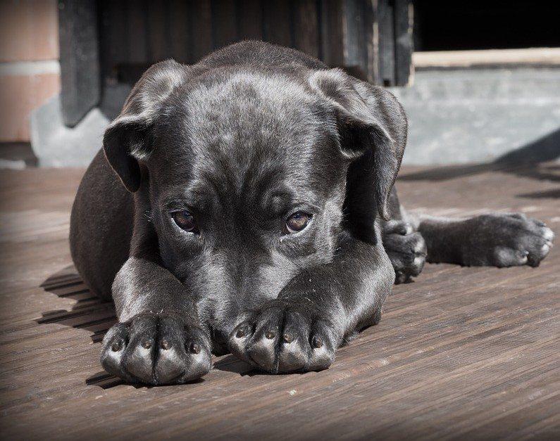 קדחת קרציות בכלב