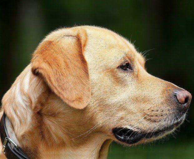בעיות פרוסטטה בכלבים