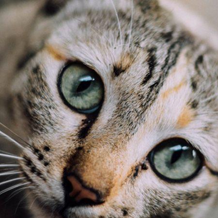 מנוי וטרינר חתול